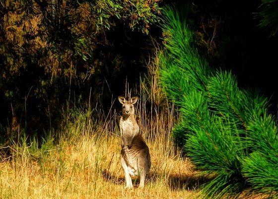 kangourou pris en photo lors d'un voyage en Autralie